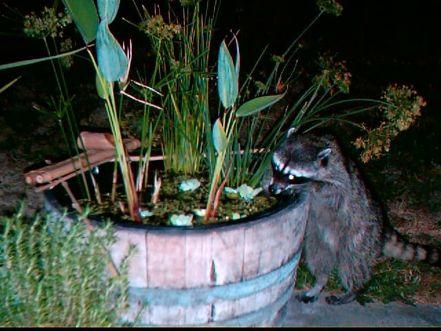 raccoonraider.jpg