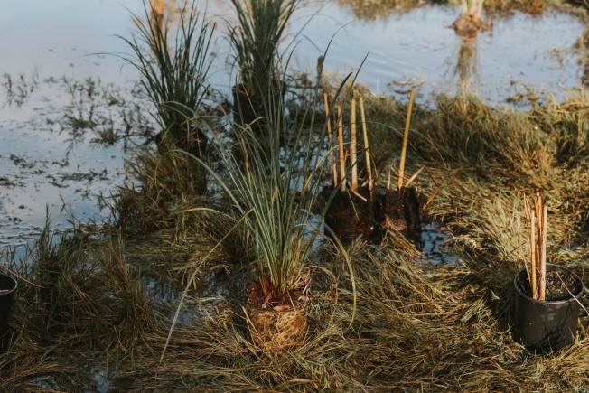 Wetland plants ready to go in the ground.