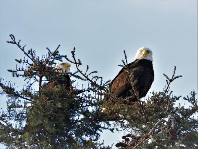 dsc_0564-eagle